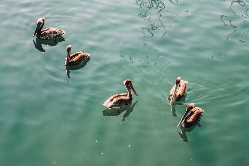Pelikane Monterey