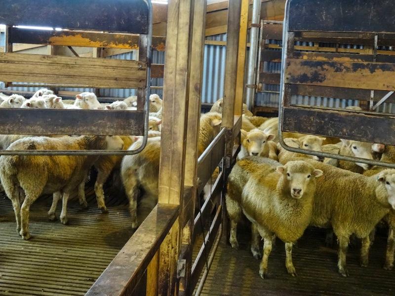 Schafe Wwoofing Neuseeland