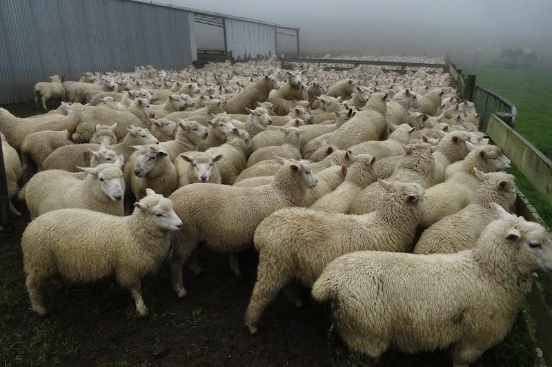 Schafe scheren Job Neuseeland