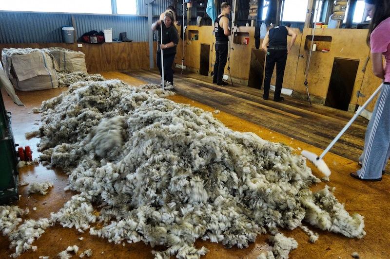 Schafe scheren Neuseeland Wwoofing