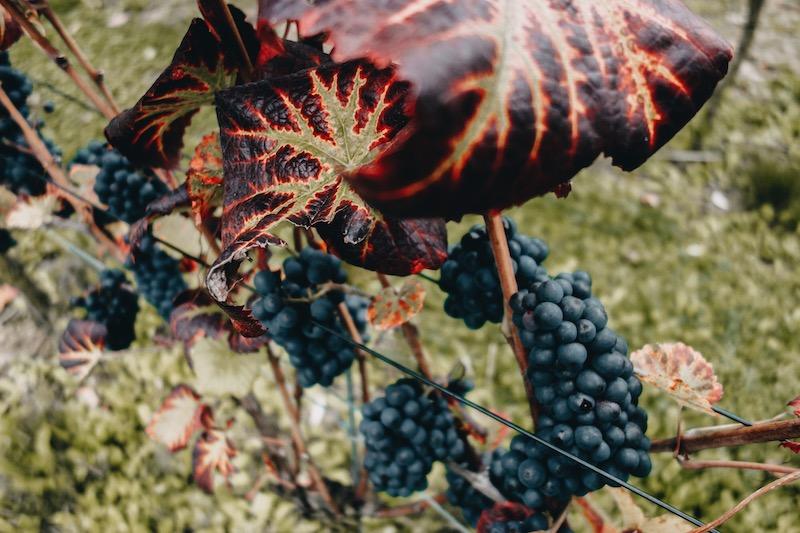 Rotweinwanderweg Ahrtal Weintrauben