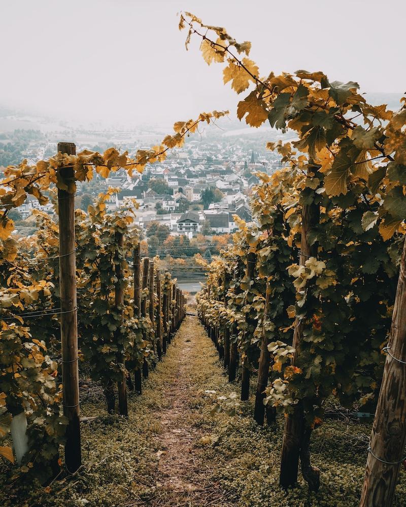 Weinreben Rotweinwanderweg