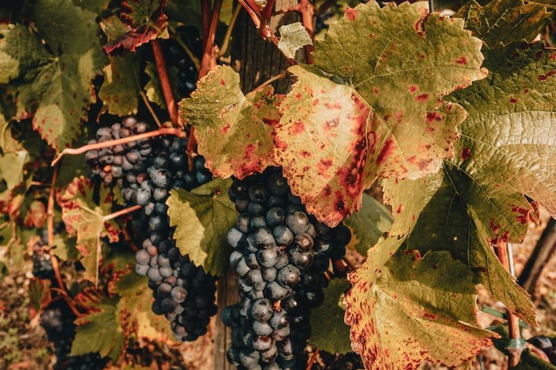 Weintrauben Rotweinwanderweg