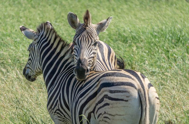 Hluhluwe iMfolozi Park Safari Gamereserve Suedafrika