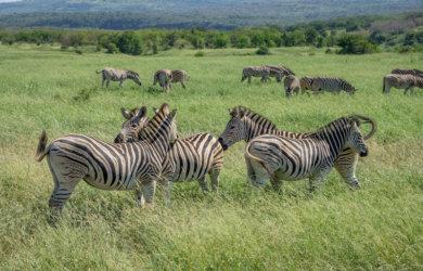 Hluhluwe iMfolozi Park Safari Zebras