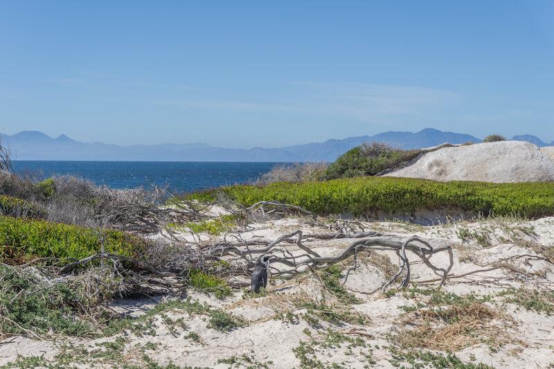 Kap Halbinsel Boulders Beach Pinguine