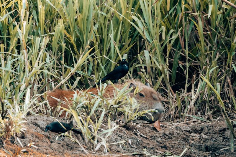 Peru Rundreise Amazonas Wasserschwein