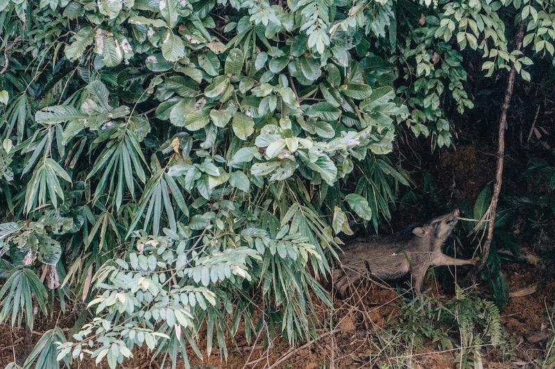 Khao Sok Nationalpark Safari