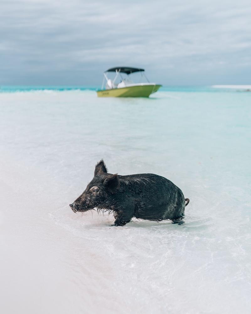 Bahamas Schwein