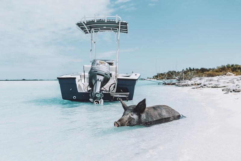 Long Island Bahamas Schweine