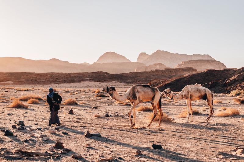 Wüstenreise Sinai Kamele