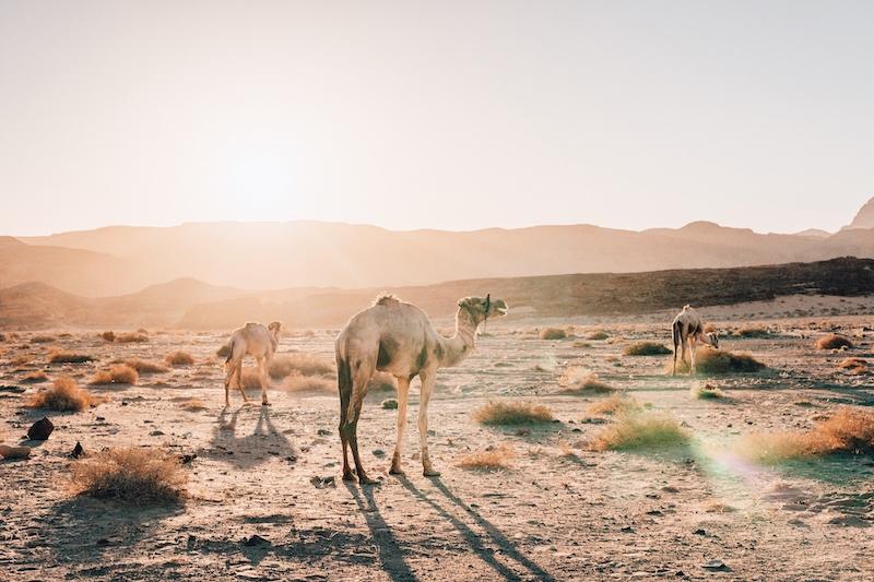 Kamele Wüste Sinai