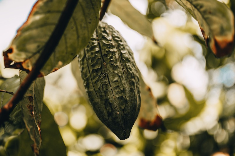 Saint Lucia Kakao