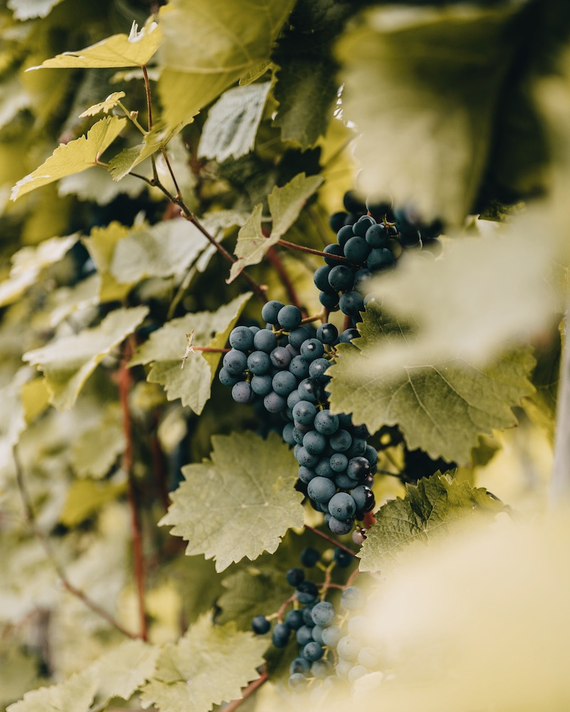 Mosel Urlaub Weindörfer Wanderweg Weinreben