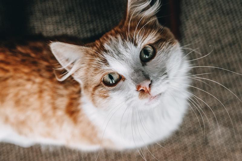 Madeira Katze