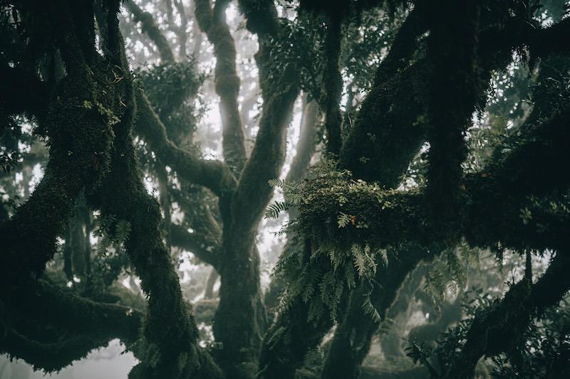 Madeira Urlaub Fanal Nebelwald