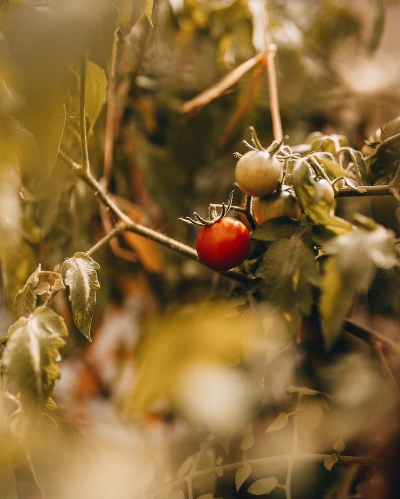 August Tomatenernte