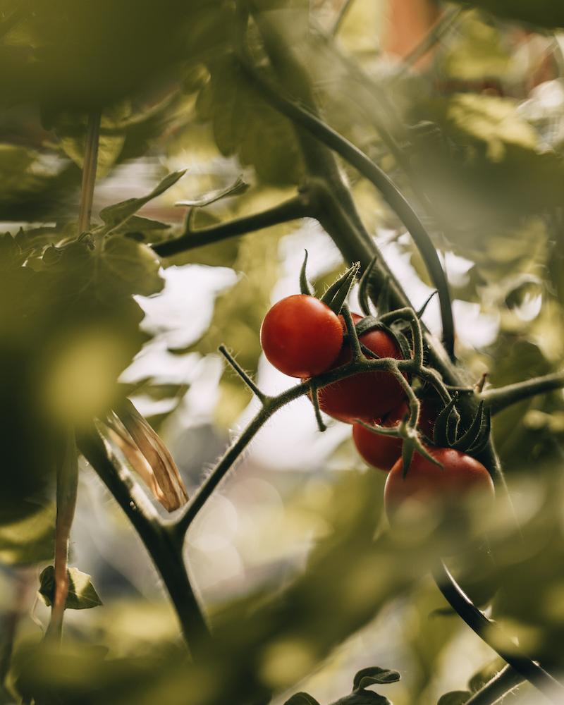 Tomaten Hochbeet