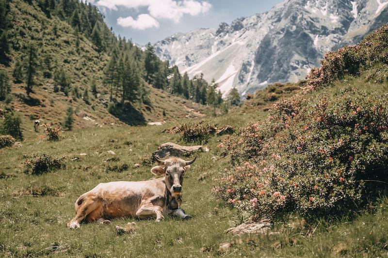 Almwiese Kuh