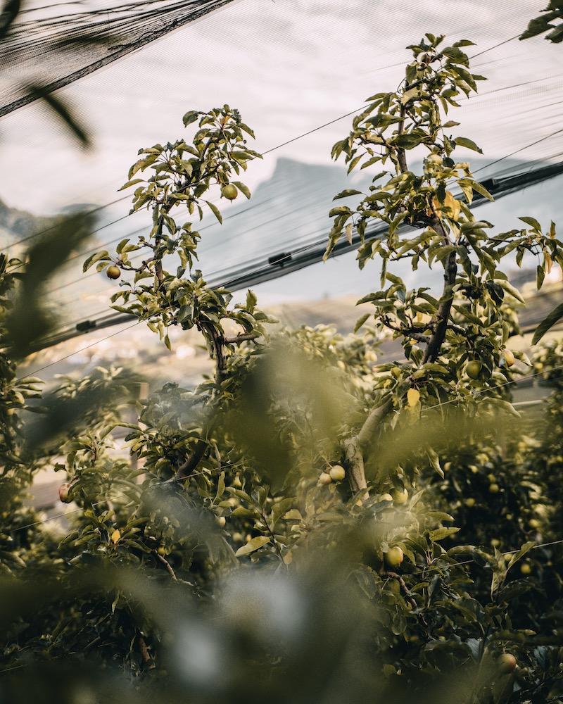 Apfelplantage Dorf Tirol