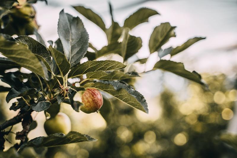 Bio Apfelanbau Meraner Land