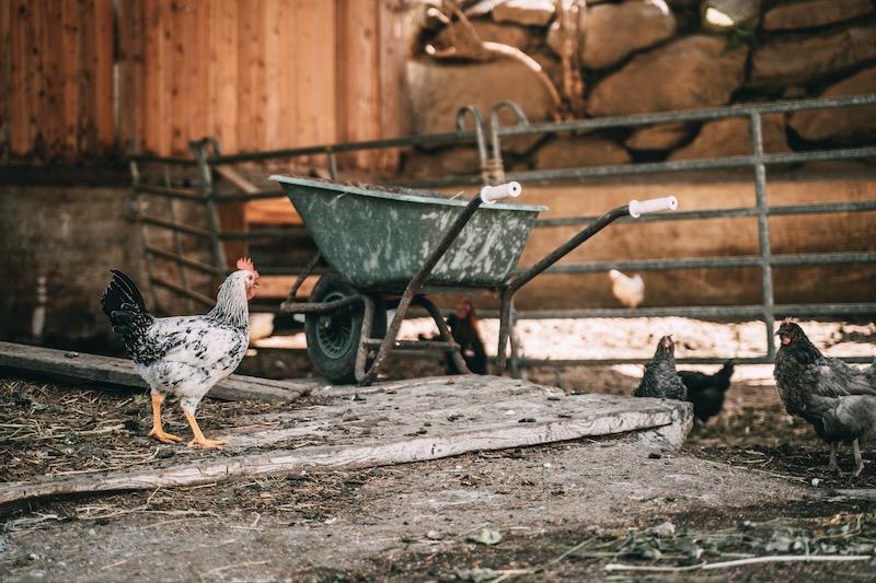 Hofeigene Hühner