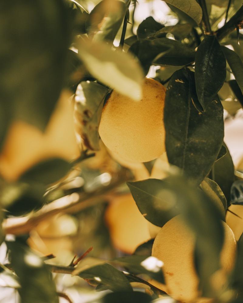 Orangenbaum Meran Dorf Tirol
