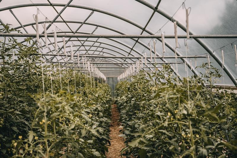 Tomaten Bachguterhof